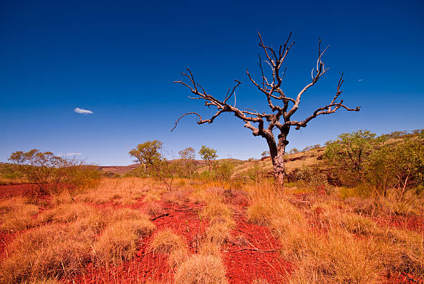 outback western australia - tree in karijini national park - bush stockfoto's en -beelden