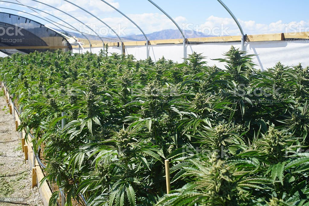 Outdoor Bright Greenhouse Full of Mature Marijuana Plants - foto de stock