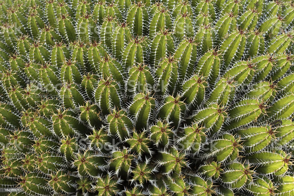 Outdoor cactuses background royalty-free stock photo