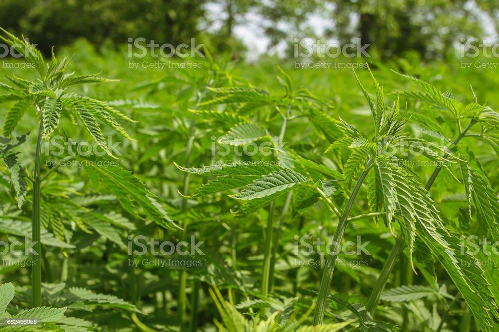 Outdoor cannabis plantation in Turkey foto de stock libre de derechos
