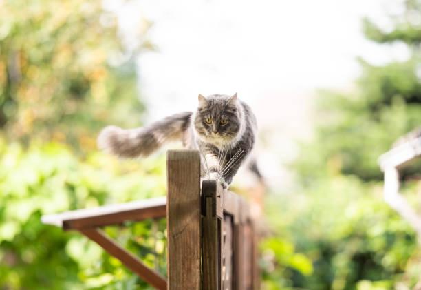 outdoor-katze - grau getigerte katzen stock-fotos und bilder