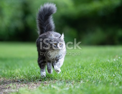 young playful blue tabby maine coon cat with extremely fluffy tail running over grass with high speed hunting in back yard