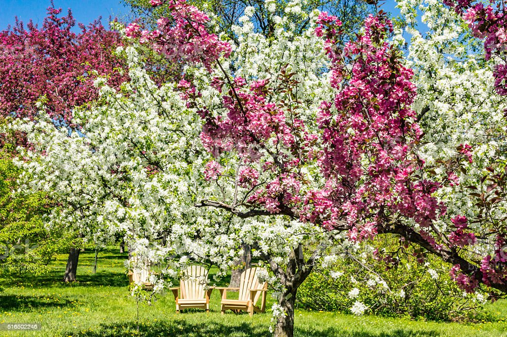 Outdoor chairs under blossoming trees stock photo