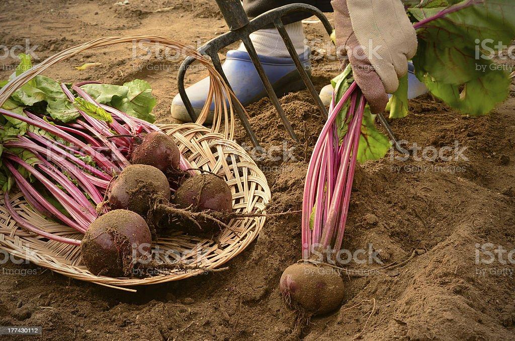 Outdoor garden image of harvesting Home Grown Beets stock photo