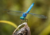This epic macro image capture shows a beautiful blue dragonfly sitting on a plant, extremely close up and detailed.