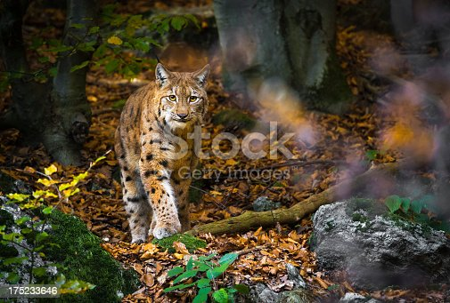 wildlife portrait of a lynx in autumn forest