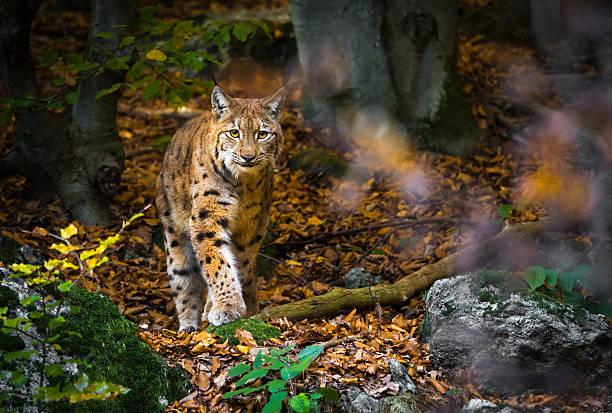 Outdoor photo of Lynx walking in woods stock photo