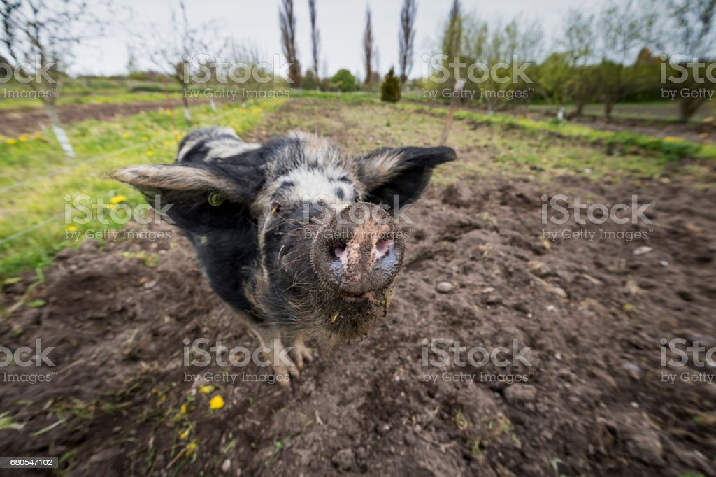 Outdoor Raised Pigs Enjoying Her Outdoor Life. stock photo