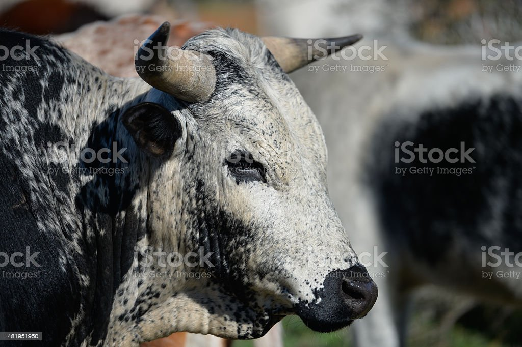 Outdoor shot of African Nguni Cattle stock photo