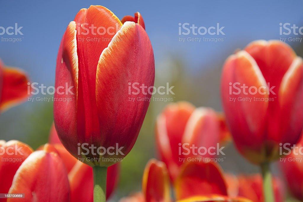 Outdoor Tulip royalty-free stock photo