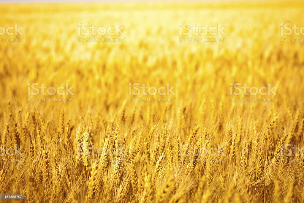 outdoor wheat field yellow spike detail royalty-free stock photo