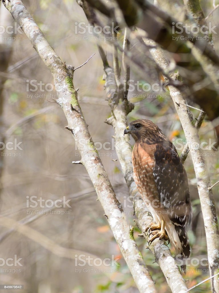 Outer Banks Red-shouldered Hawk stock photo