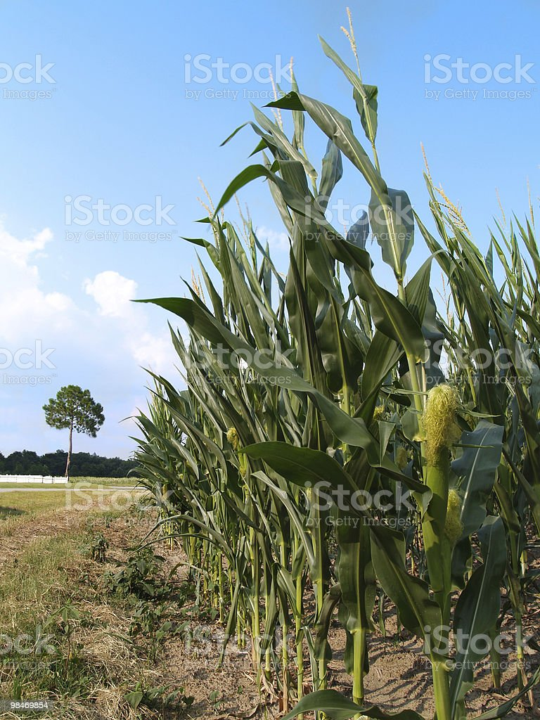 Outer Row of a Corn Field royalty-free stock photo