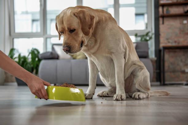 saliente labrador viendo en comida a domicilio - alimentar a tu perro fotografías e imágenes de stock