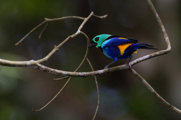 Saíra-Pintor - Tangara Fastuosa-Maceió - Brasilien – Foto