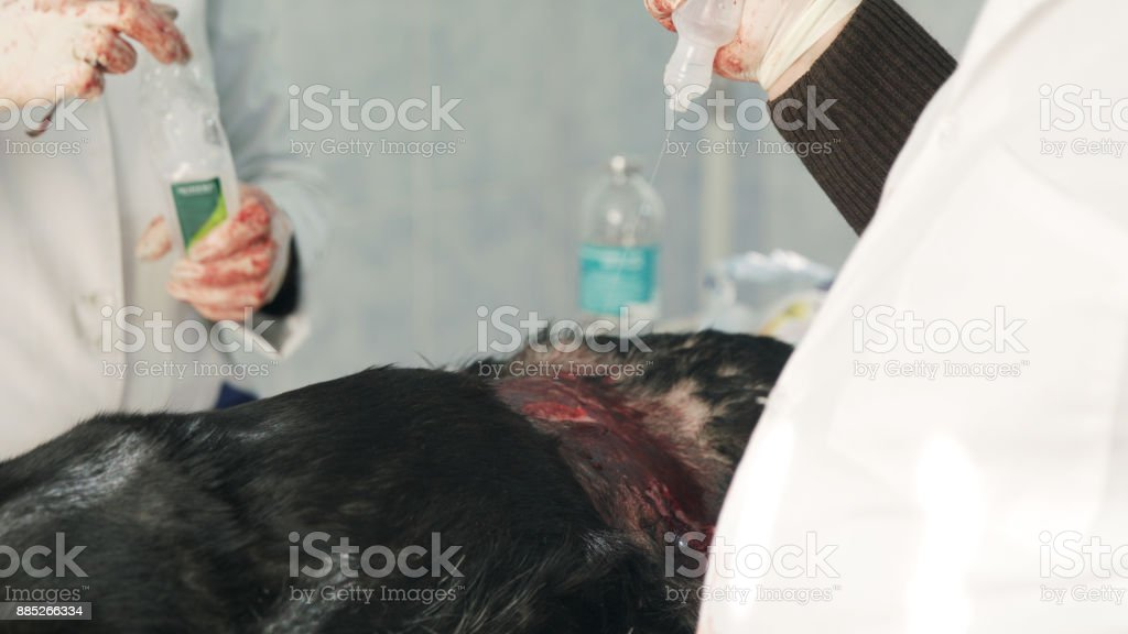 Ovary removal dog surgery. Pouring hemostatic on the wound stock photo