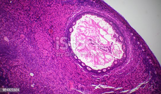 istock Ovary section under the microscope 924322324