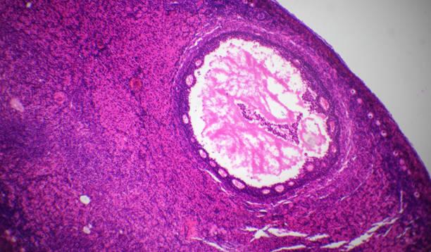 eierstok sectie onder de microscoop - eierstok stockfoto's en -beelden