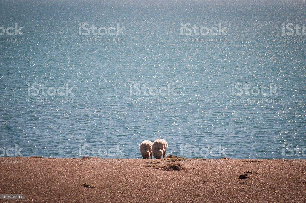 ovejas comiendo pastando - foto de stock