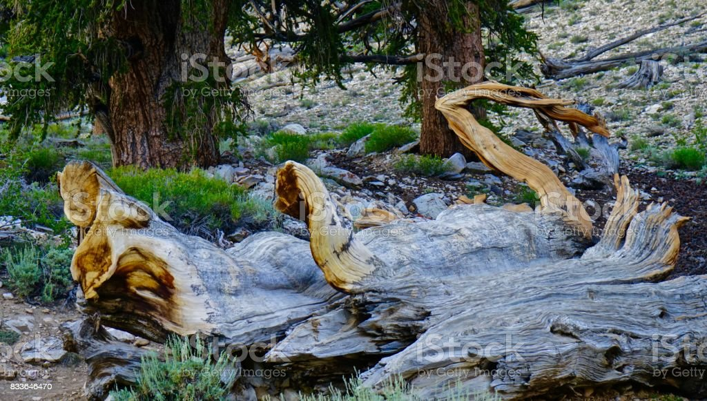 Over 3,000 Years/Ancient Bristlecone Pine stock photo