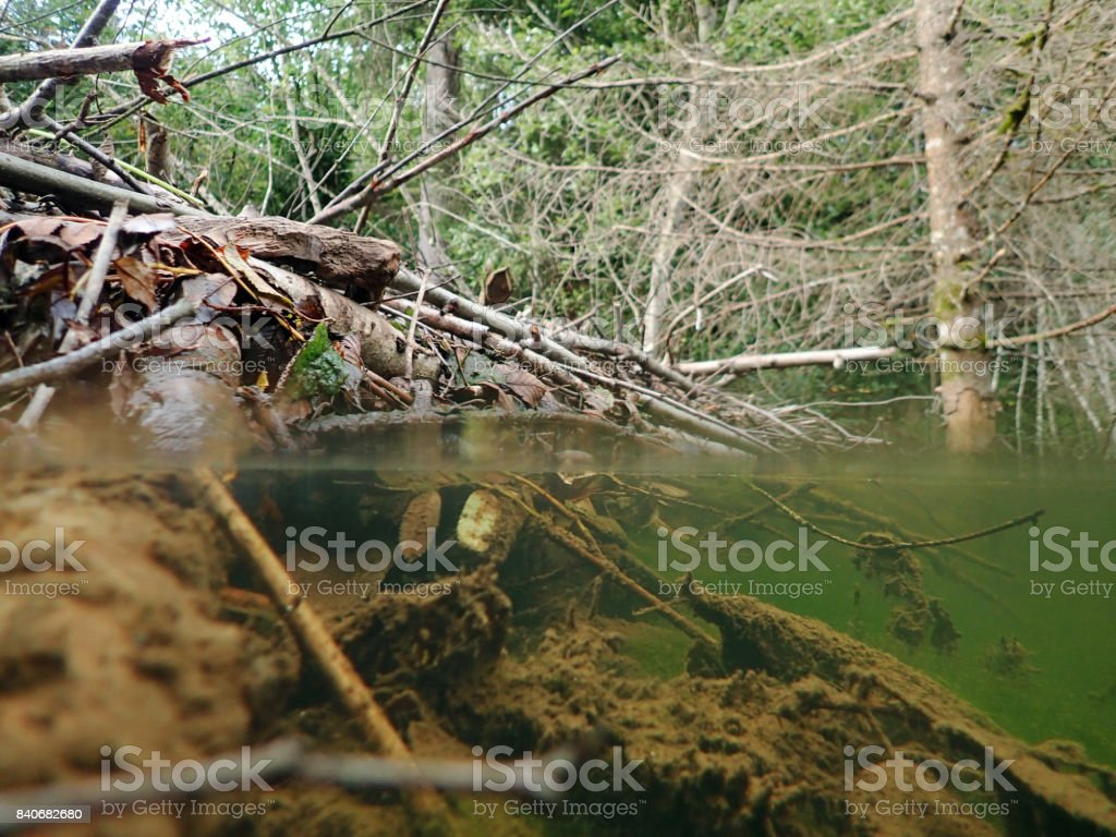 Over- and underwater view of a beaver building by a stream stock photo