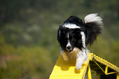 Border Collie is crossing the dogwalk obstacle