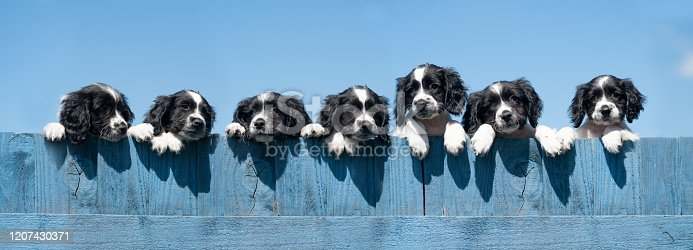 Seven Springer Spaniel puppies looking over a blue fence against a blue sky