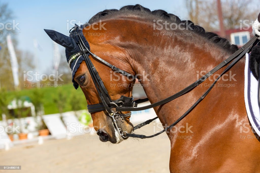 Overbent dressage horse wearing an anti-fly cap stock photo