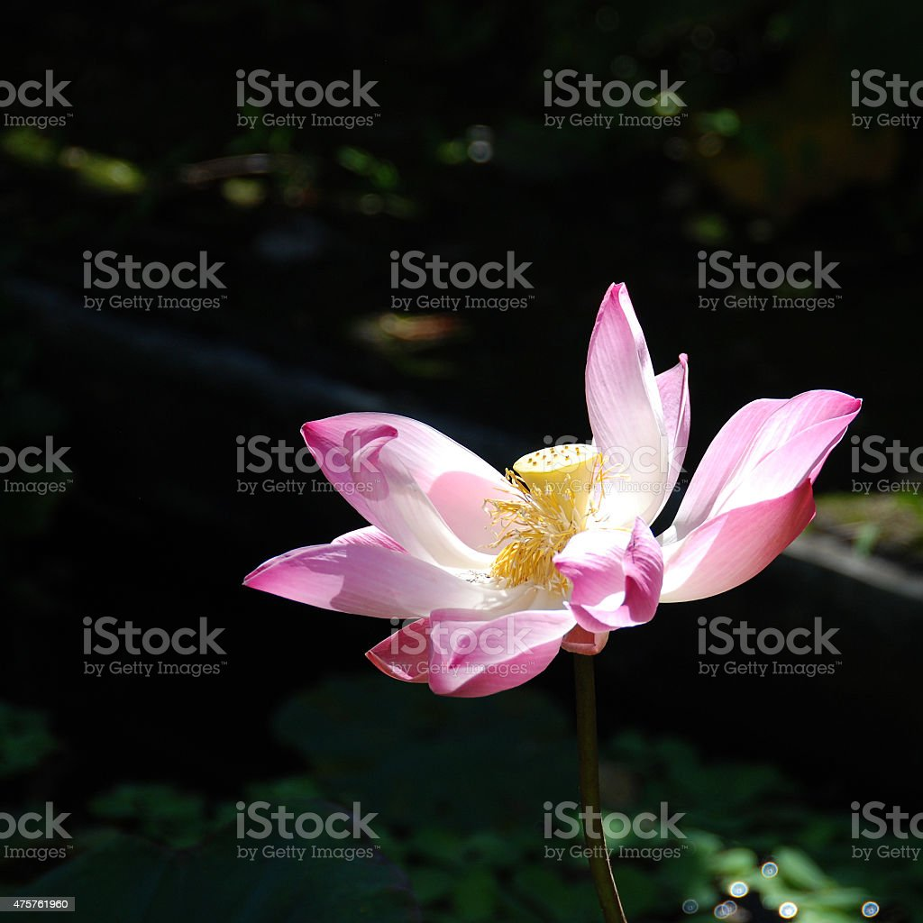 Overblown lotus flower stock photo more pictures of 2015 istock overblown lotus flower royalty free stock photo izmirmasajfo