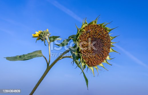 Closeup of an overblown sunflower contrasting with a bright blue sky. Dewy spider silk is visible all around the flower. The photo was taken in the Dutch autumn season.