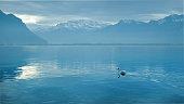 Single swan swimming on the Lake Geneva in Montreux, Chablais Alps mountains.
