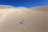 Isolated flower found growing in the Great Sand Dunes National Park, Colorado USA.