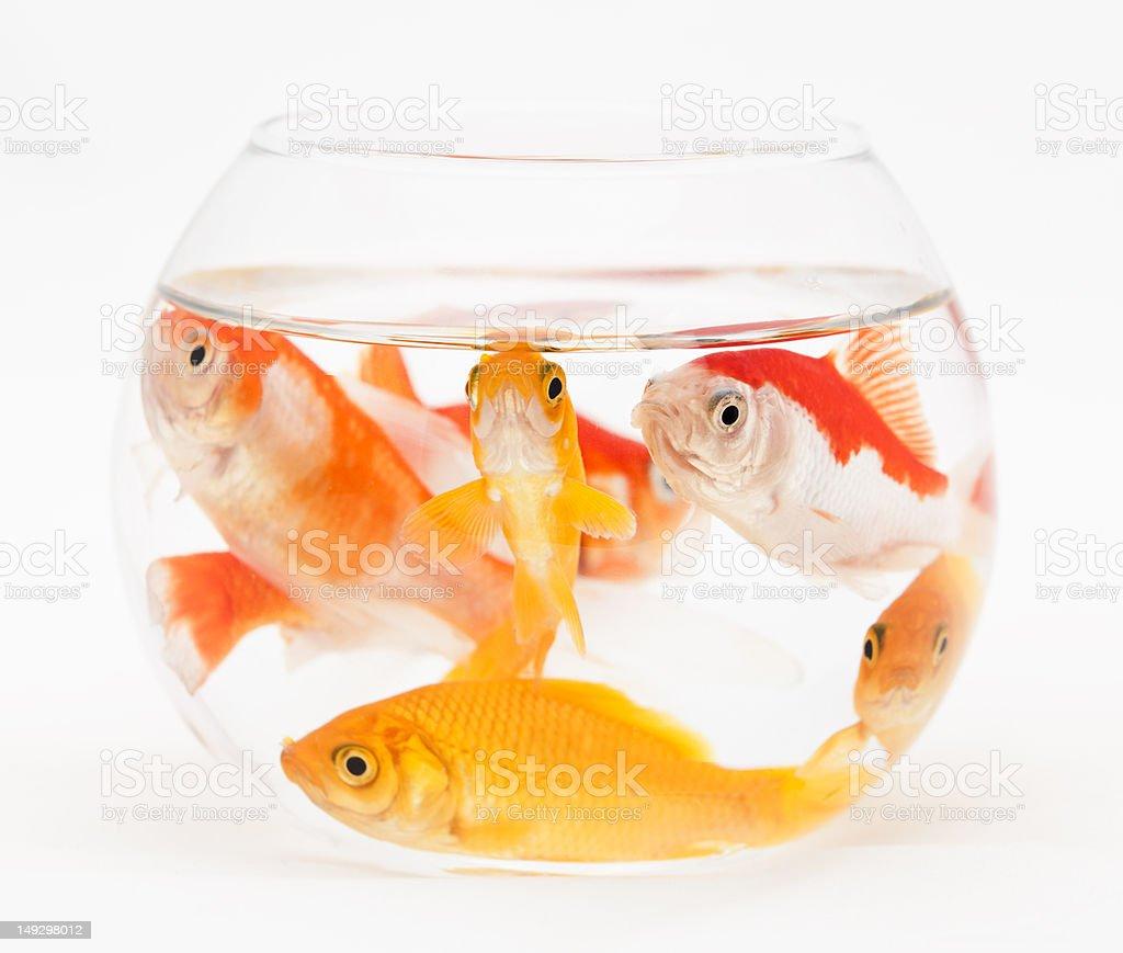 overcrowded fishbowl royalty-free stock photo