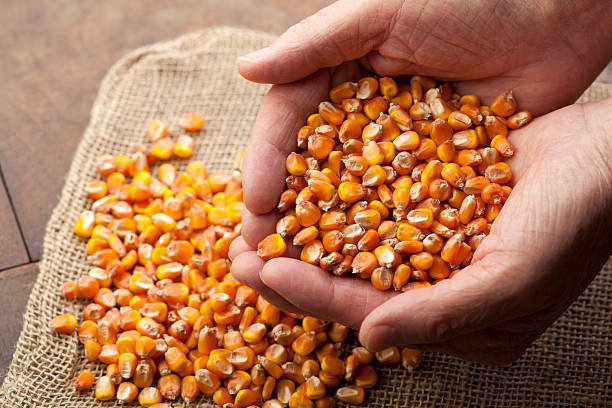 Overflowing Maize Seeds stock photo