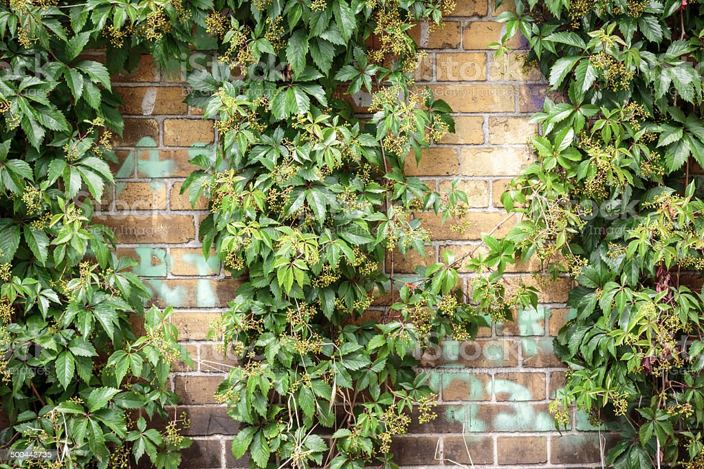 overgrown  Boston ivy brick wall for backgrounds stock photo