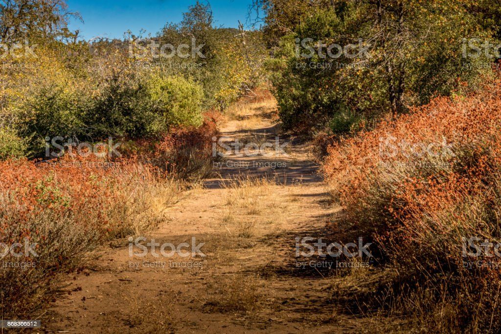 Overgrown country road bordered by native plant buckwheat, coast stock photo