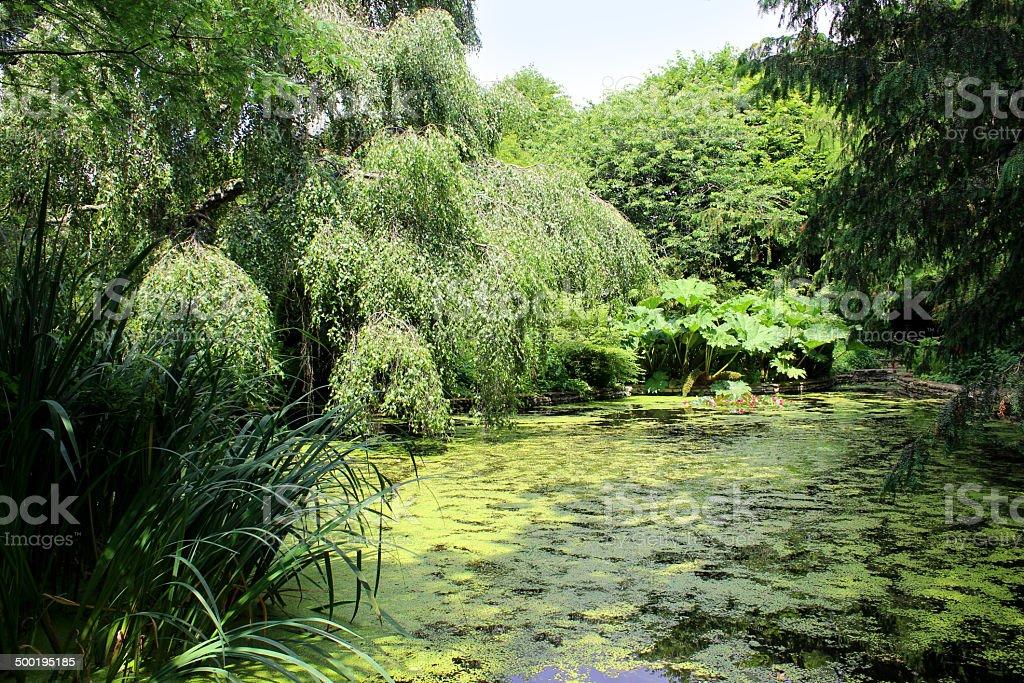 Overgrown garden pond with water lilies, gunnera, duckweed, weeping birch stock photo