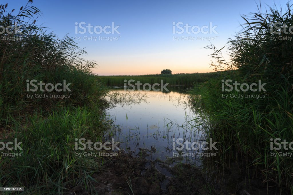 Overgrown pond shore on sunrise. On the sides of the lake grows reeds, on the horizon a lonely tree zbiór zdjęć royalty-free