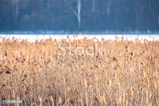 overgrown reeds on the banks of the river in the winter's bright day on the background of the opposite bank