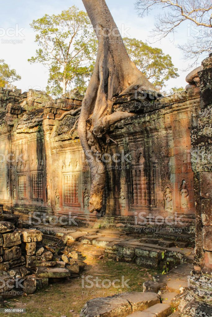 overgrown temple ruin, Angkor Wat, Cambodia - tree on temple wall - zbiór zdjęć royalty-free