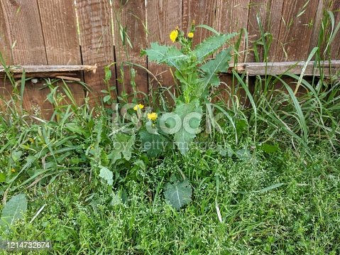 Overgrown, unwanted broad leaf weeds in the grass