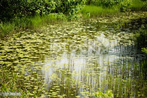 istock Overgrown with horsetails and water lilies a small lake with muddy water 1251769785