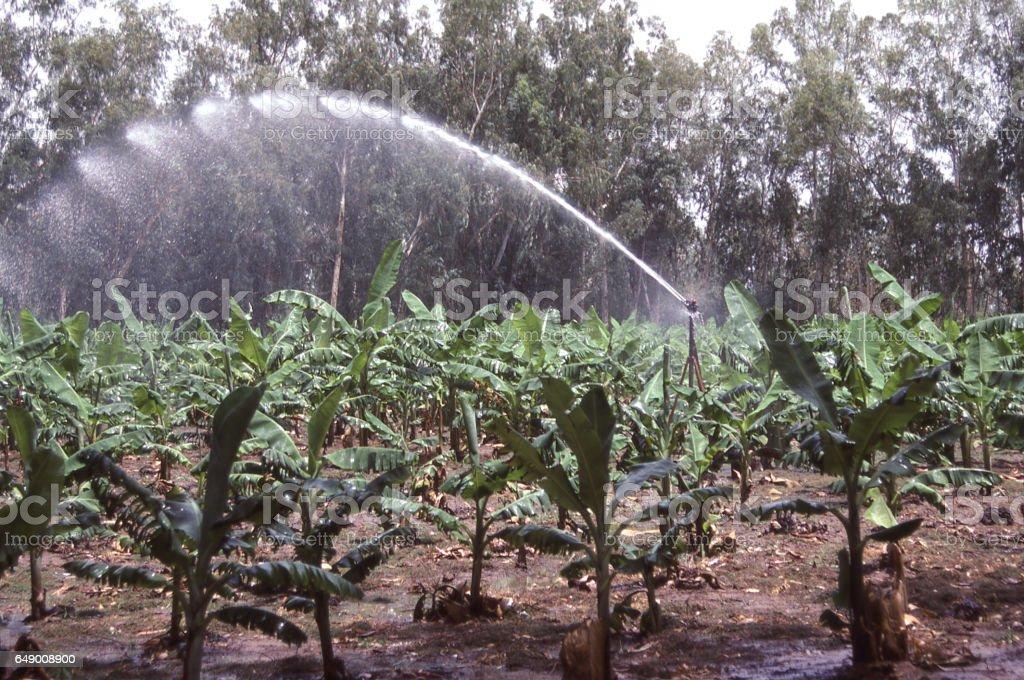 Overhead irrigation equipment watering banana crops in southern Burkina Faso Africa stock photo