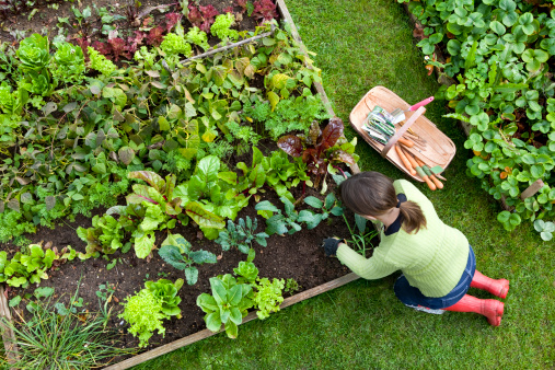 Birds eye view of a woman gardener weeding an organic vegetable garden with a hand fork, while kneeling on green grass and wearing red wellington boots.