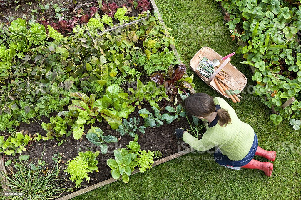 Overhead Shot of Woman Digging in a Vegetable Garden stock photo