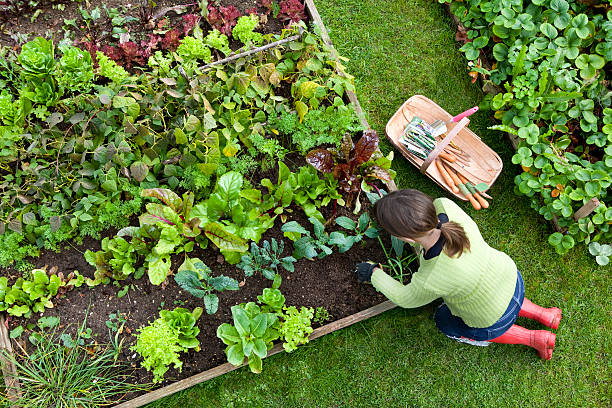 Overhead Shot of Woman Digging in a Vegetable Garden Birds eye view of a woman gardener weeding an organic vegetable garden with a hand fork, while kneeling on green grass and wearing red wellington boots. community garden stock pictures, royalty-free photos & images