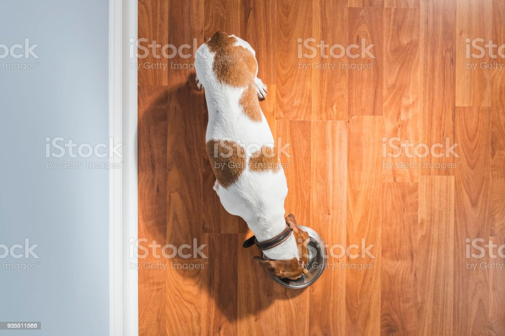 Overhead view of a Dachshund eating indoors next to wall - Rescue Dog stock photo