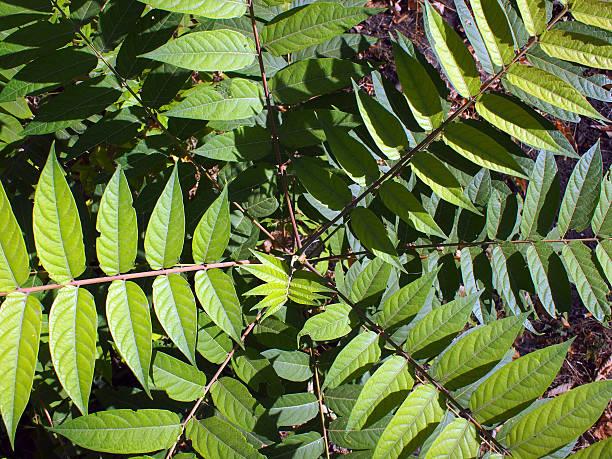 Blick von oben auf eine Junge Pflanze Baum Ailanthus altissima – Foto