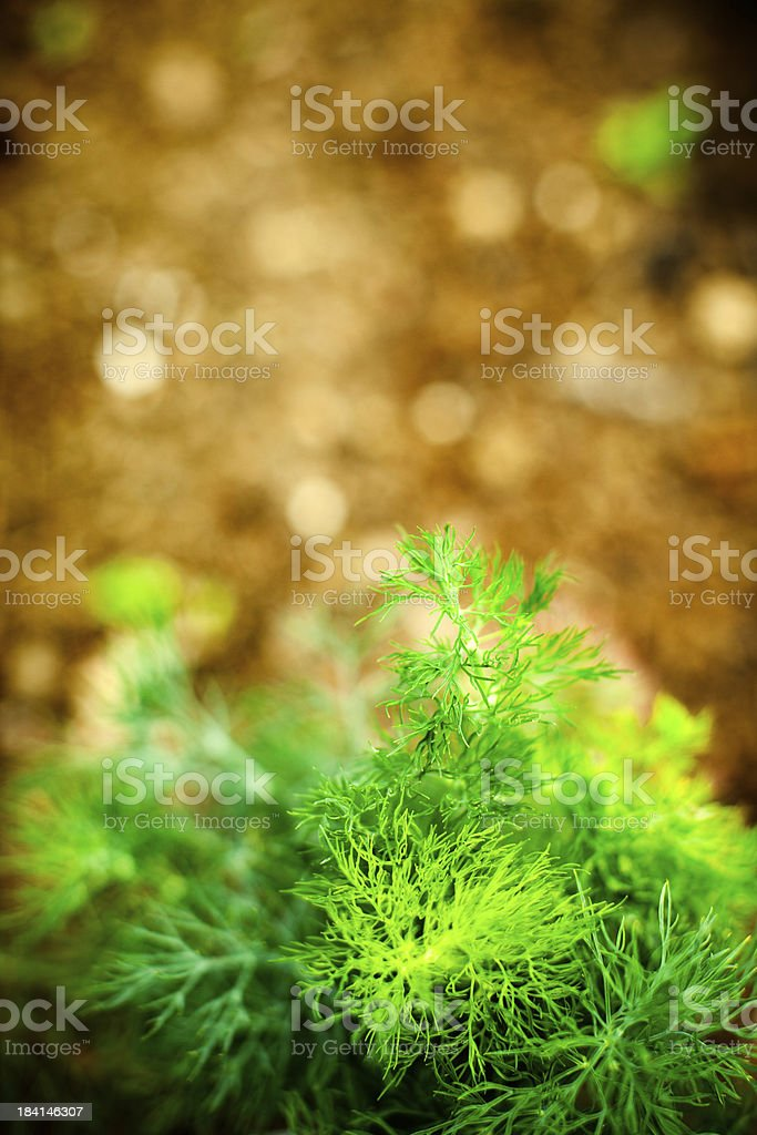 Overhead View of Dill Plant and Dirt stock photo