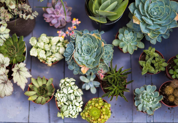 Overhead view of exotic cactus plants in a row Close up overhead color image depicting small exotic potted cactus plants, for sale, in a row. Selective focus is on one of the cacti in particular, while the others are slightly blurred out of focus. Room for copy space. houseplant stock pictures, royalty-free photos & images
